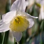 weiße Frühlingsblume