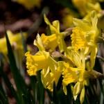 gelbe Osterglöckchen